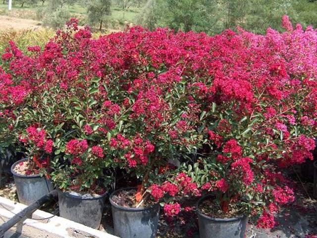 Fiori per aiuole pieno sole aubrieta deltoidea with fiori for Piante da giardino perenni pieno sole